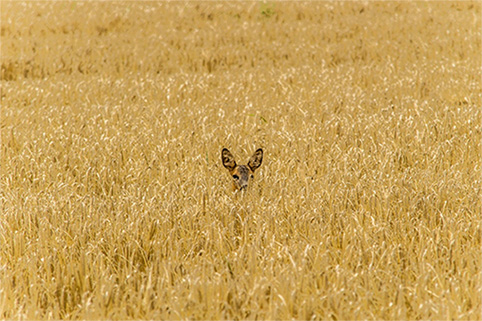 Deer-with-no-viewability